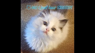 A day in the life of a Ragdoll kitten