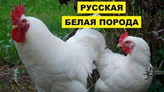 Разведение кур породы Русская белая как бизнес идея   Русская белая курица