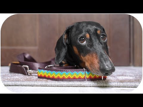 Don't trust cute dachshund eyes vol.6!