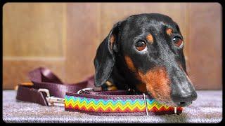 Don't trust cute dachshund eyes vol.6! Funny dog video!