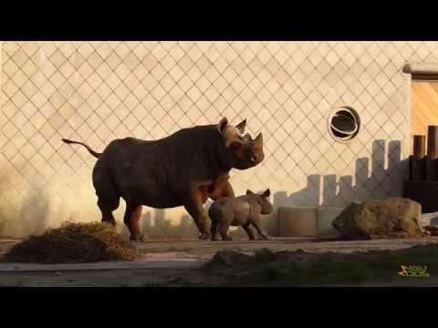 Black rhino calf frolicking at Rotterdam Zoo
