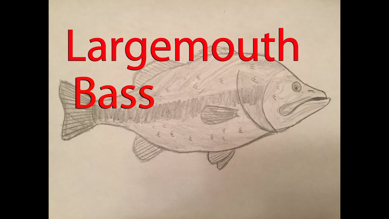 How To Draw A Largemouth Bass Youtube