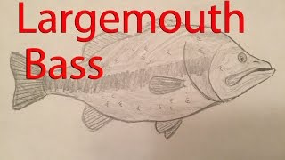 How to draw a Largemouth Bass