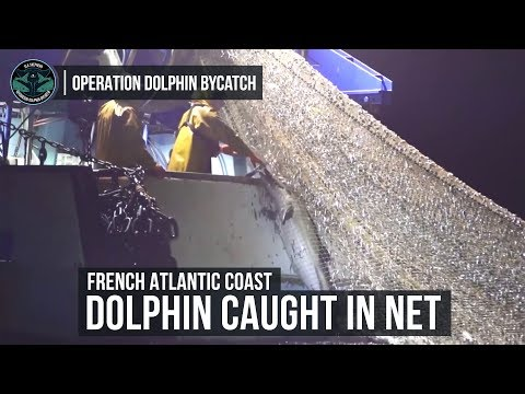 Sea Shepherd Captures Footage Of Dolphins Killed In Fishing Nets Off French Atlantic Coast