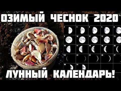 Лунный календарь посадки озимого чеснока 2020! Сажай в этот день и супер урожай гарантирован!