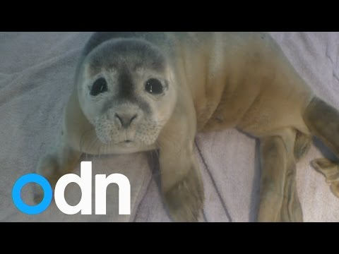 Cute baby seal stranded in a herd of 30 cows