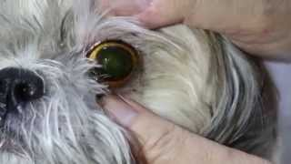 A Shih Tzu Has Right Eye Tearing And Ear Infections