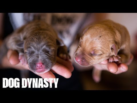 Hulk's Pitbull Puppies Fight For Survival | DOG DYNASTY