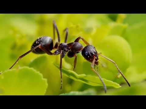 Зачем муравьи бегают по кругу, пока не умрут?