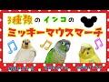 3種類のインコが歌う「ミッキーマウスマーチ」!!オカメインコ ウロコインコ セ…