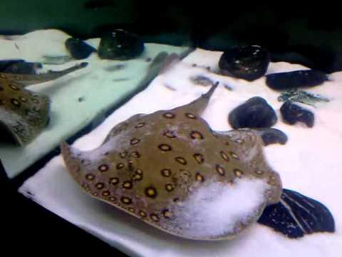 Motoro stingray with discus fish tank 260 gallon youtube for Stingray fish tank