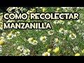 Como recolectar Manzanilla