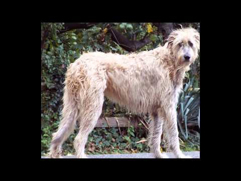 Irish Wolfhound Dog the 6th expensive dog