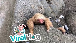 Baby Sloth Rescue in Costa Rica || ViralHog