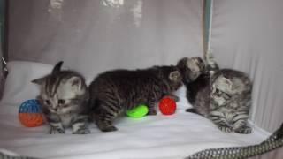 Британские котята http://gala-cat.ru мраморные и пятнистые
