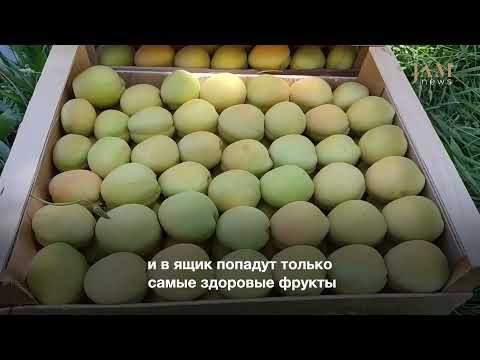 «Искусство» собирать абрикосы: большая часть урожая отправится из садов Армении в другие страны