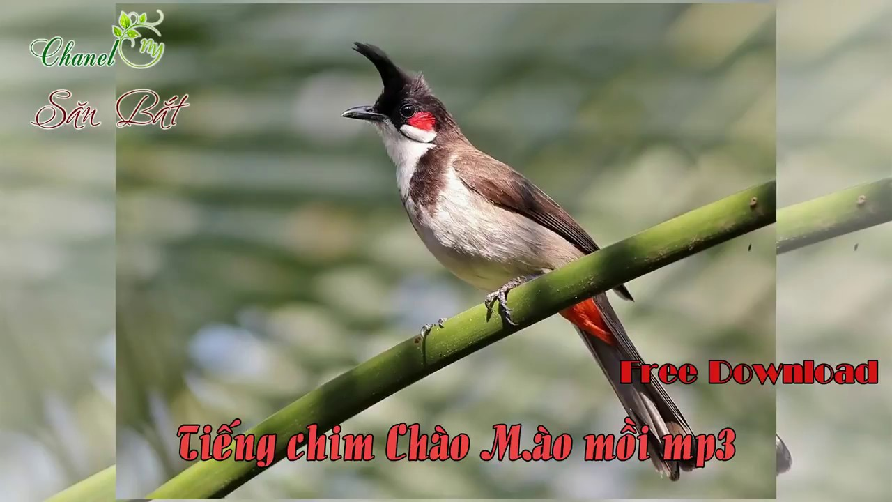 Download tiếng chim bông lau đít vàng chào mào đít vàng mồi hót.