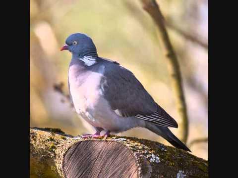 chant pigeon ramier mp3