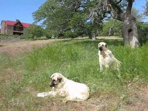 Anatolian Shepherd Dogs - No Music - 2010