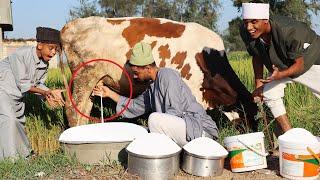 البقرة الحلوب - مش هتصدقو بتحلب قد ايه فى اليوم أغرب بقرة فى العالم