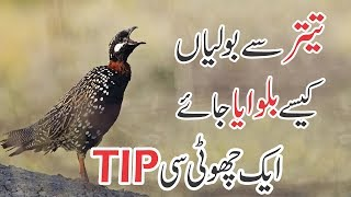 How to || Train a Teetar for Calling Sound || A small TIP || in Hindi / Urdu