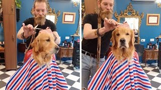 Patient Dog Gets Haircut At Barbers