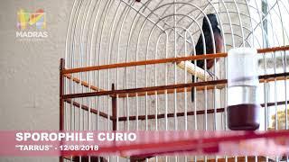 Sporophile #curio / #Picolette - Chant Local
