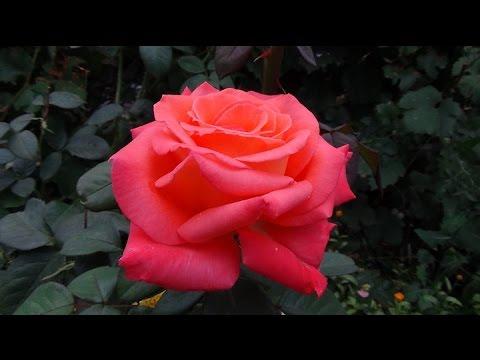 Чайно-гибридные розы. Hybrid Tea Roses. - YouTube
