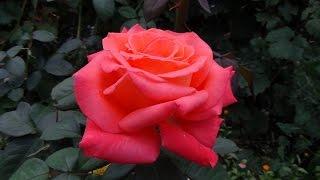 Чайно-гибридные розы. Hybrid Tea Roses.