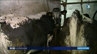 Agriculture : le Coeur de Massif : un fromage 100% Vosgien