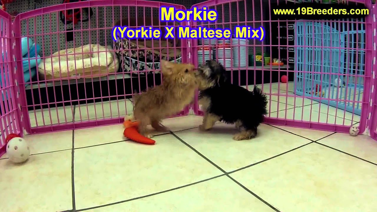 Morkie Puppies For Sale In Toronto Canada Cities Montreal