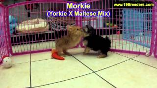 Morkie, Puppies, For, Sale In Toronto, Canada, Cities, Montreal, Vancouver, Calgary