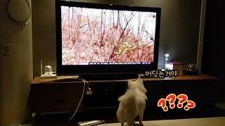 티비보는강아지/강아지티비/스피츠/치와와