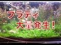 【Aquarium】メイン水槽でプラティ増えすぎてますw の動画、YouTube動画。
