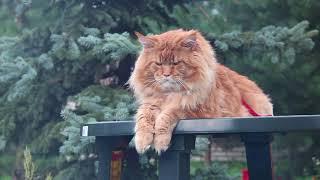 Кот - гигант. Мейн - кун.