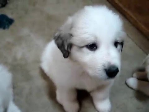 Lady's puppies 6 weeks old! Wells' Providence Great Pyrenees Puppies!