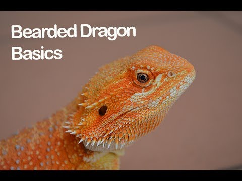 What you SHOULD know about Bearded Dragon care!