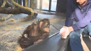 Орангутан расхохотался после того, как увидел фокус со стаканом.