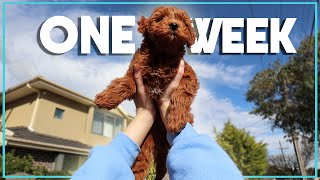One week with Chicken & Jack (The Cavoodle and the Husky)