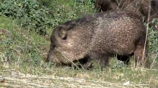 Born Animal Mark Fraser Collared Peccary