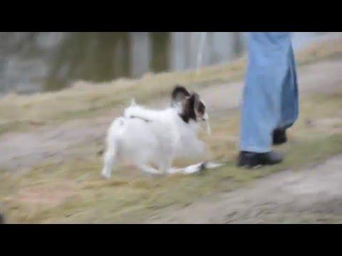 Papillon puppy leash training