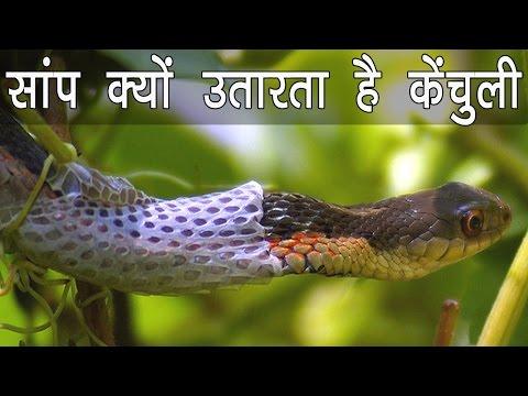 सांप क्यों और कैसे उतारता है अपनी केंचुली / Snake Changing Skin