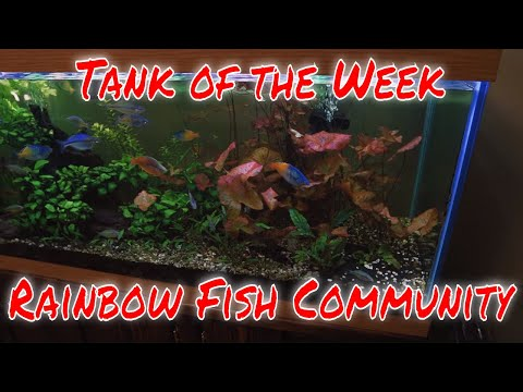 Tank Of The Week Ep 2: The Rainbow Fish Community
