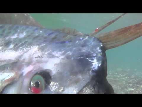 Oarfish Encounter - YouTube Oarfish Swimming