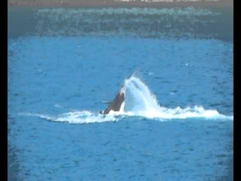 Hump back whales slapping tails