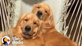 5 Things Every Golden Retriever Owner Knows | The Dodo