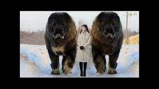 WOW! Amazing Biggest Dog in The World - Giant Dogs❤