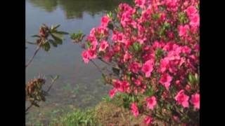 The Gardener Magazine: Planting On The Waters' Edge - Azaleas