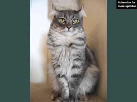 Black American Curl | Collection Of Cat Breed Pictures