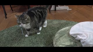 捕まえて鳴くねこ。-Maru caught the toy and meowed.-